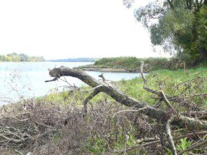 drzewozaur-idzie-się-kąpać-w-wiśle